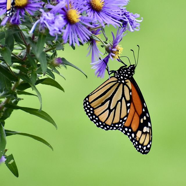 A black and orange monarch butterfly dangles beneath a plant with purple flowers, sipping nectar from the bright yellow center.