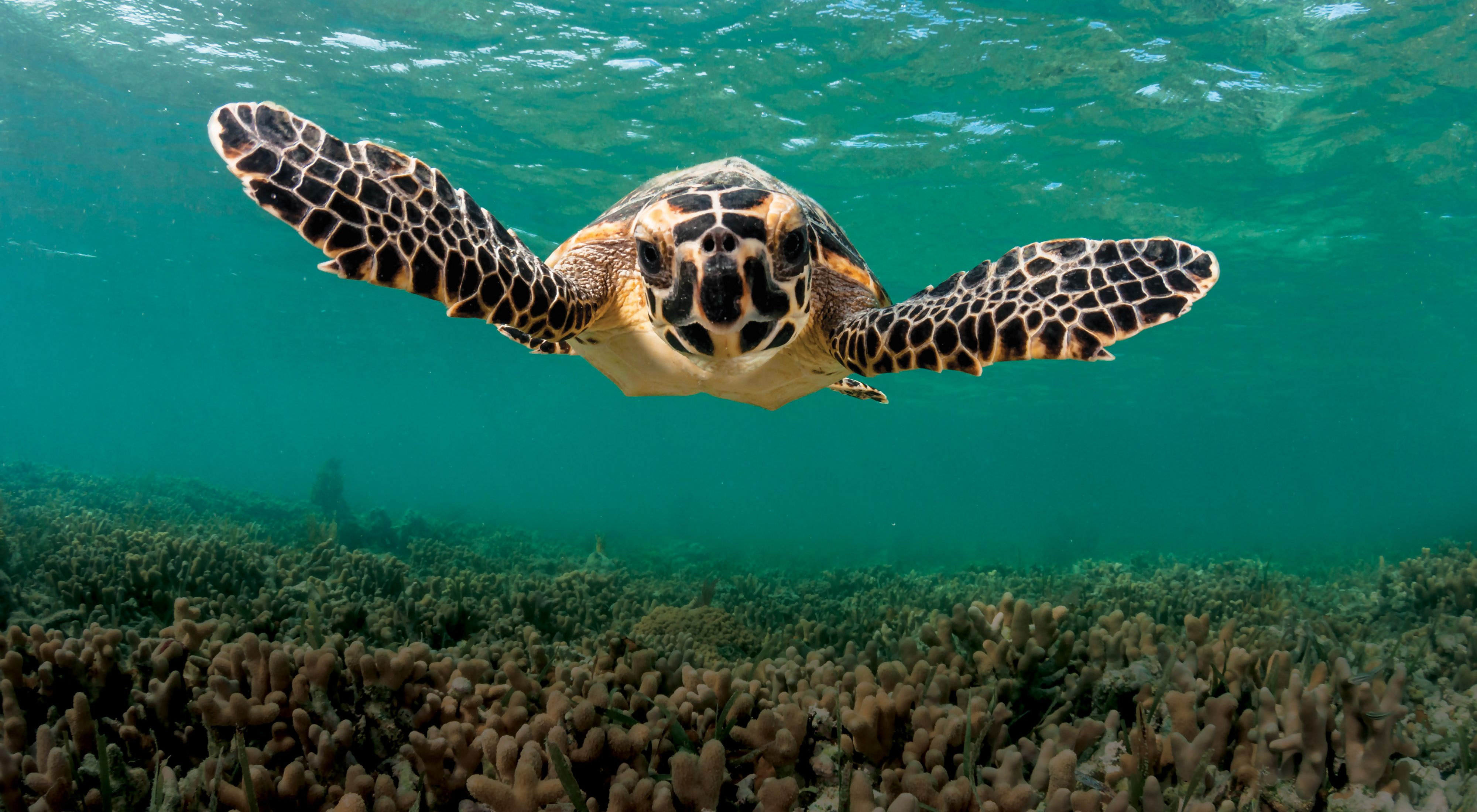 A hawksbill turtle underwater looks at the camera.