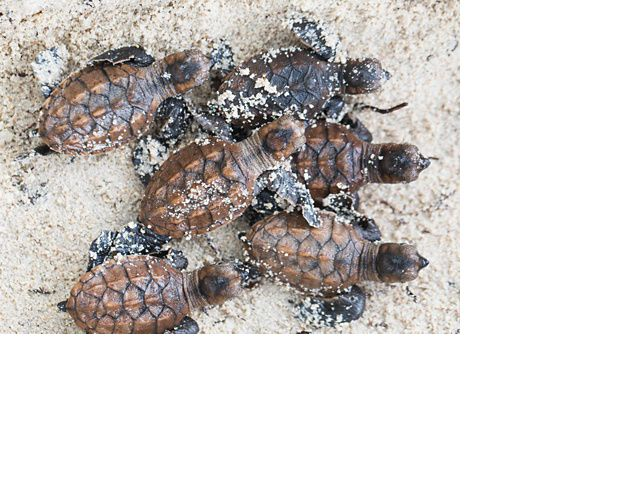 Moments after hatching, baby hawksbill turtles head towards the ocean in the Arnavon Islands.