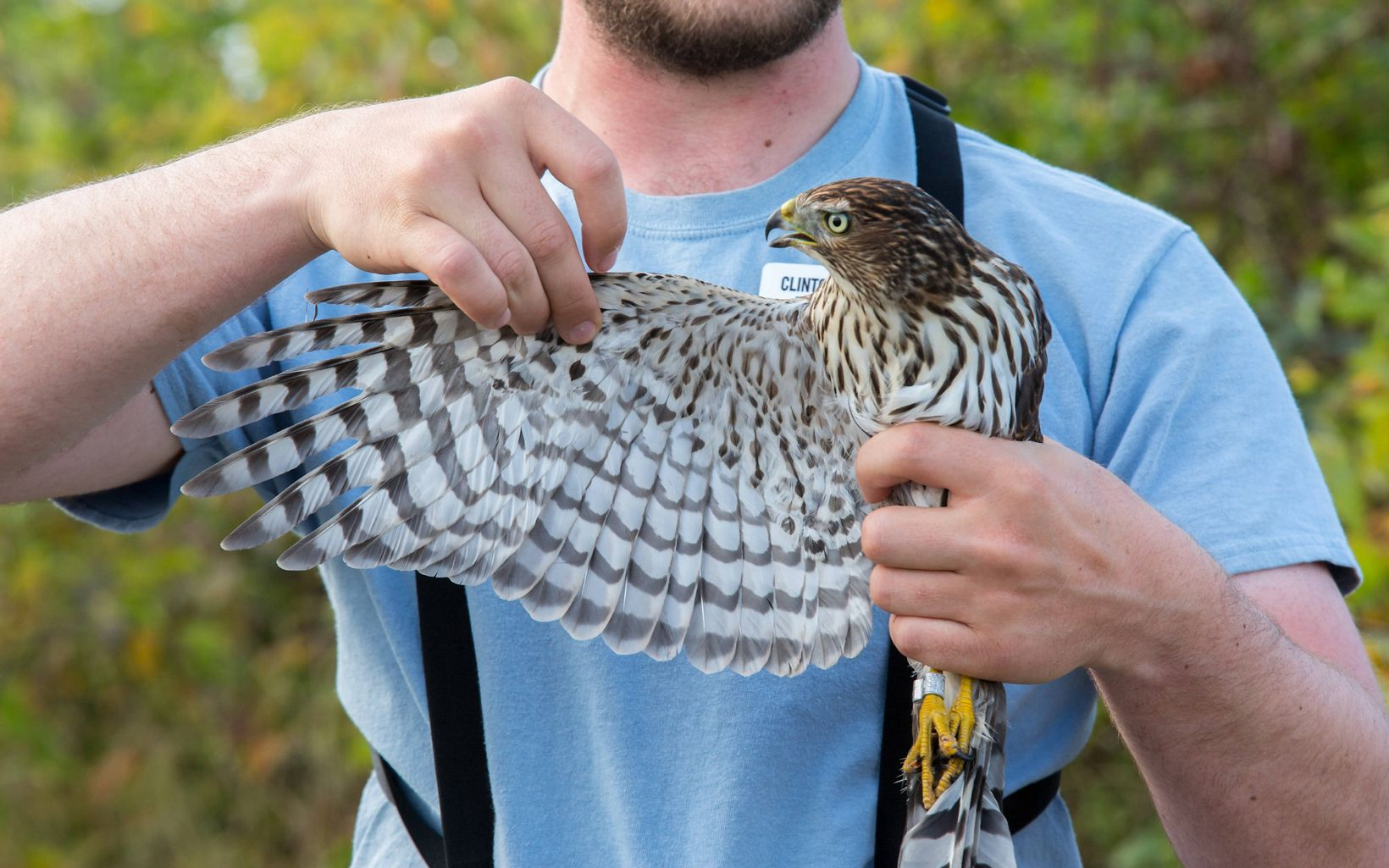 A naturalist at Hawks Ridge carefully extends the wing of a hawk during a demonstration.