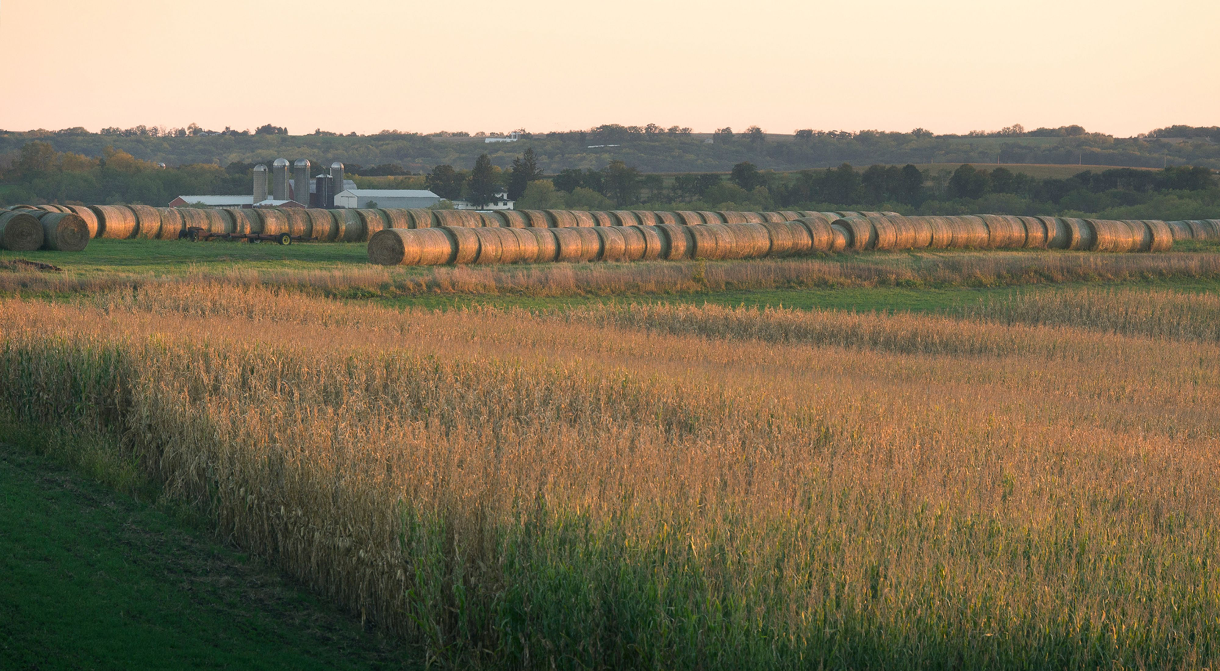 Hay bales in the distance lined up next to a wheat field.