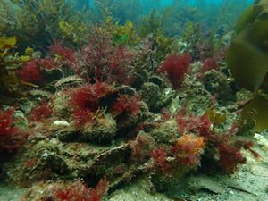 at Georges Bay, Tasmania - the last surviving healthy reef of its kind!