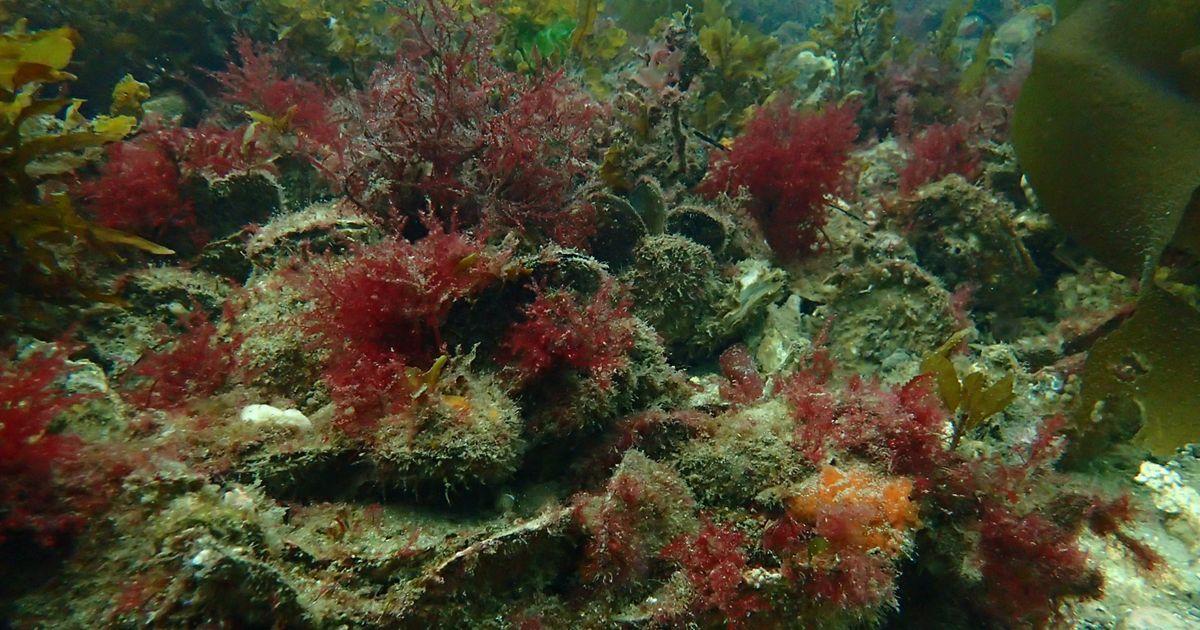 at Georges Bay, Tasmania - the last surviving healthy reef of its kind!