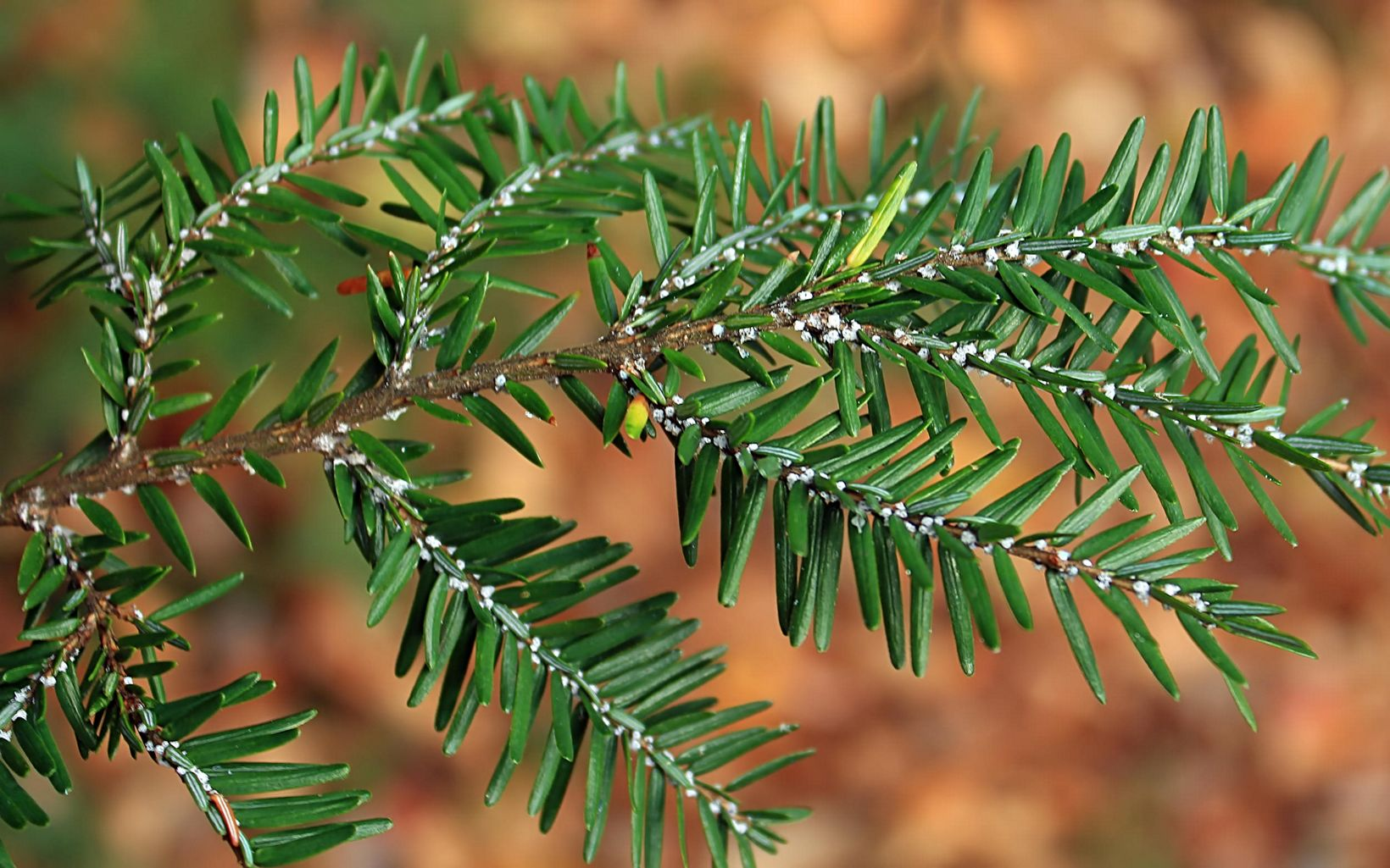 The Hemlock Woolly Adelgid moved into Kentucky in 2007.