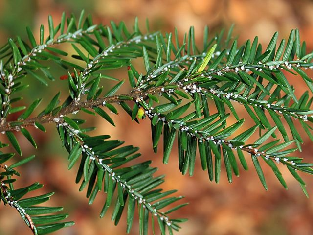 The Hemlock Woolly Adelgid (an invasive insect that here looks like white fuzz on a hemlock branch) moved into Kentucky in 2007.