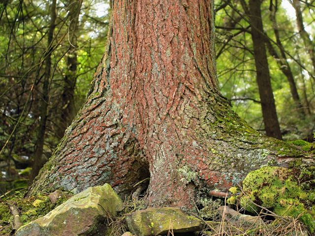 A hemlock tree trunk emerges from a forest floor.