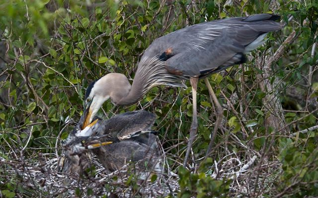 Heron nest in the Florida Everglades