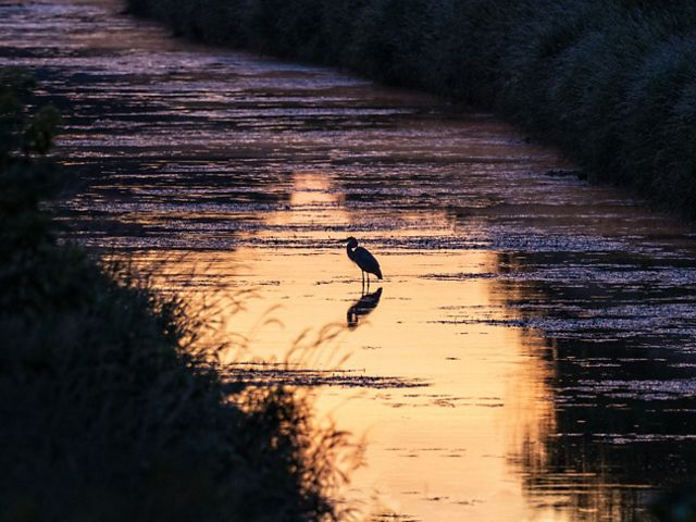 Great blue heron stands along the Kishwaukee River at sunrise.