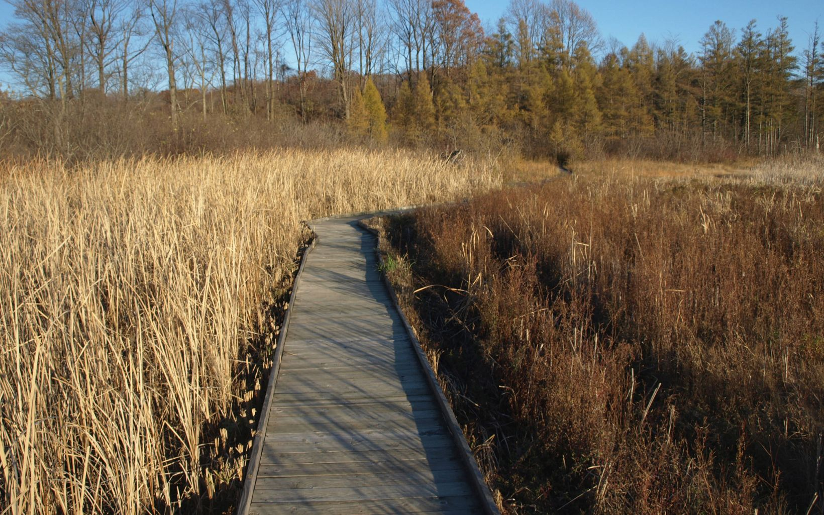 Grasses and native plants surround the boardwalk as it winds through the wetland at J. Arthur Herrick Fen Preserve before it enters the forest.