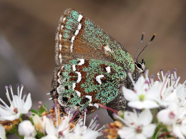 A green butterfly with brown and white eye-spots on its wings sips nectar from a small white flower.