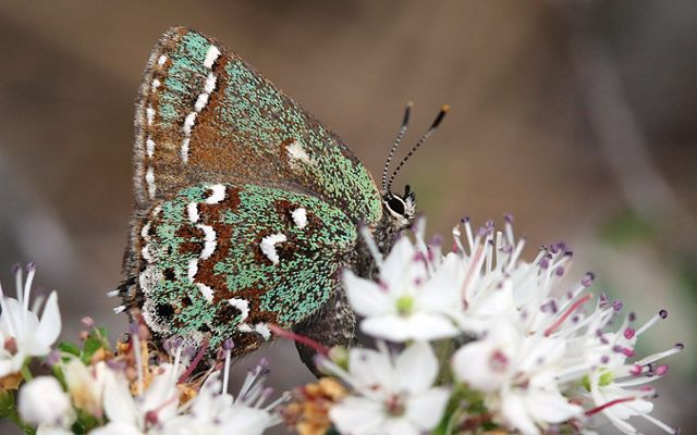 A butterfly sips nectar from white flowers. Its pale green and brown wings are flecked with white half moon designs.