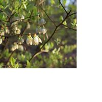 Highbush blueberry at Ponders Tract in Delaware.