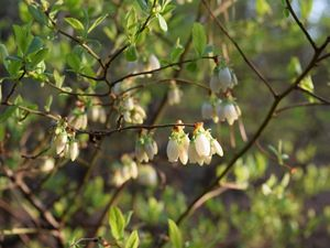 Delicate white blooms hang down from the ends of thin branches.