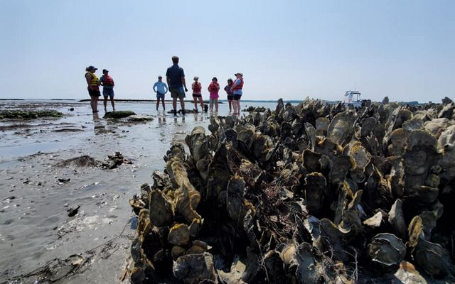 A group of people stand spread out on a beach under a bright blue sky. A large clump of oysters in a restored reef dominates the foreground.