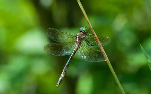 Dragonfly with two pairs of wings and green eyes grasps plant stem with front legs.