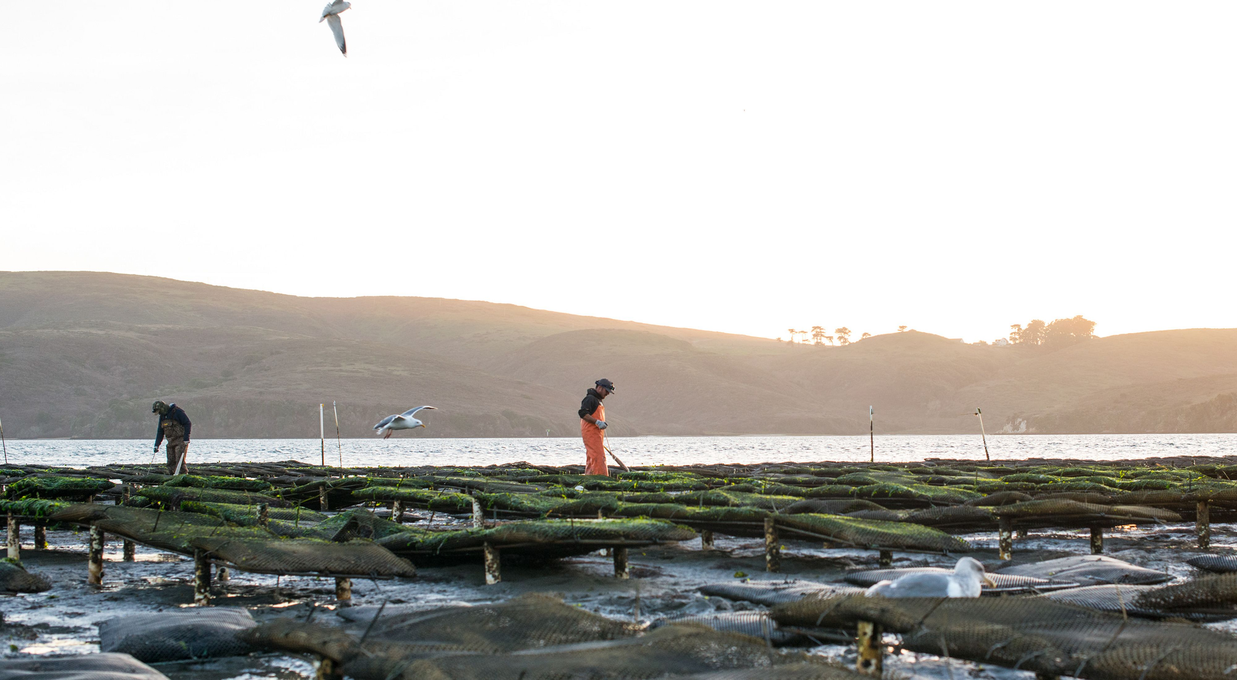 Workers at sunrise at Hog Island Oyster Farm on Tomales Bay in Marshall, California.