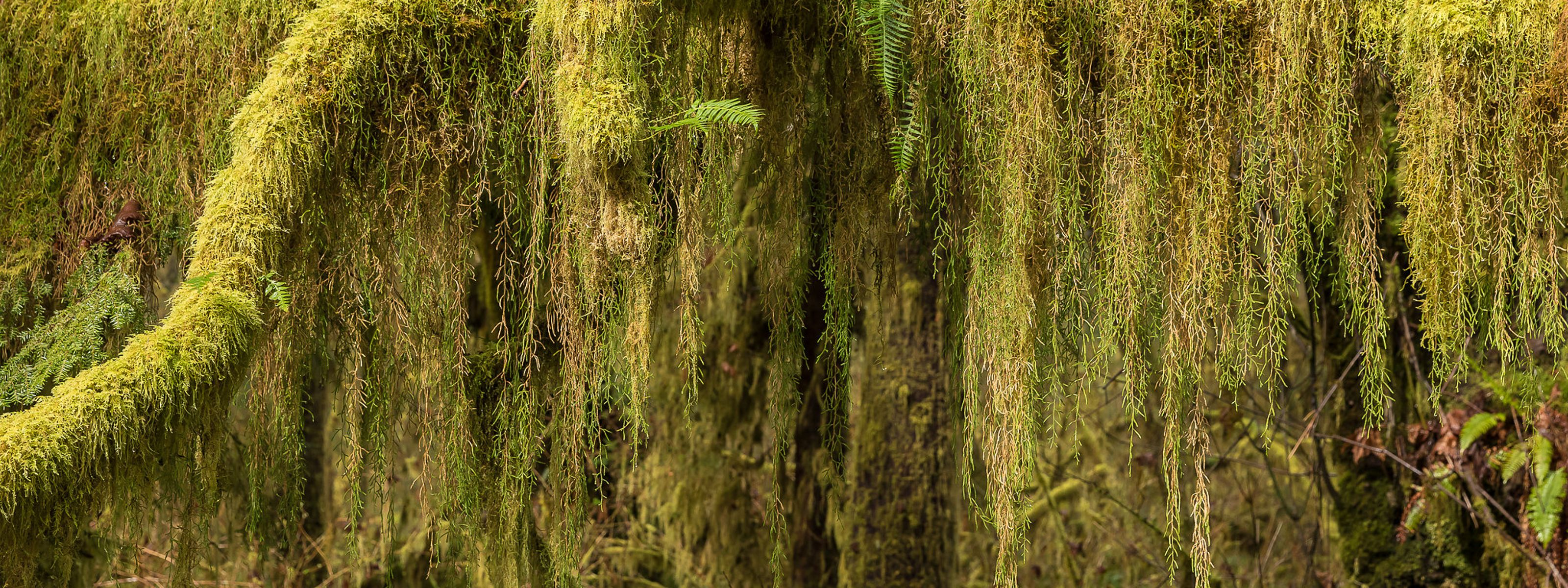 and branches in Washington's Hoh River Valley.