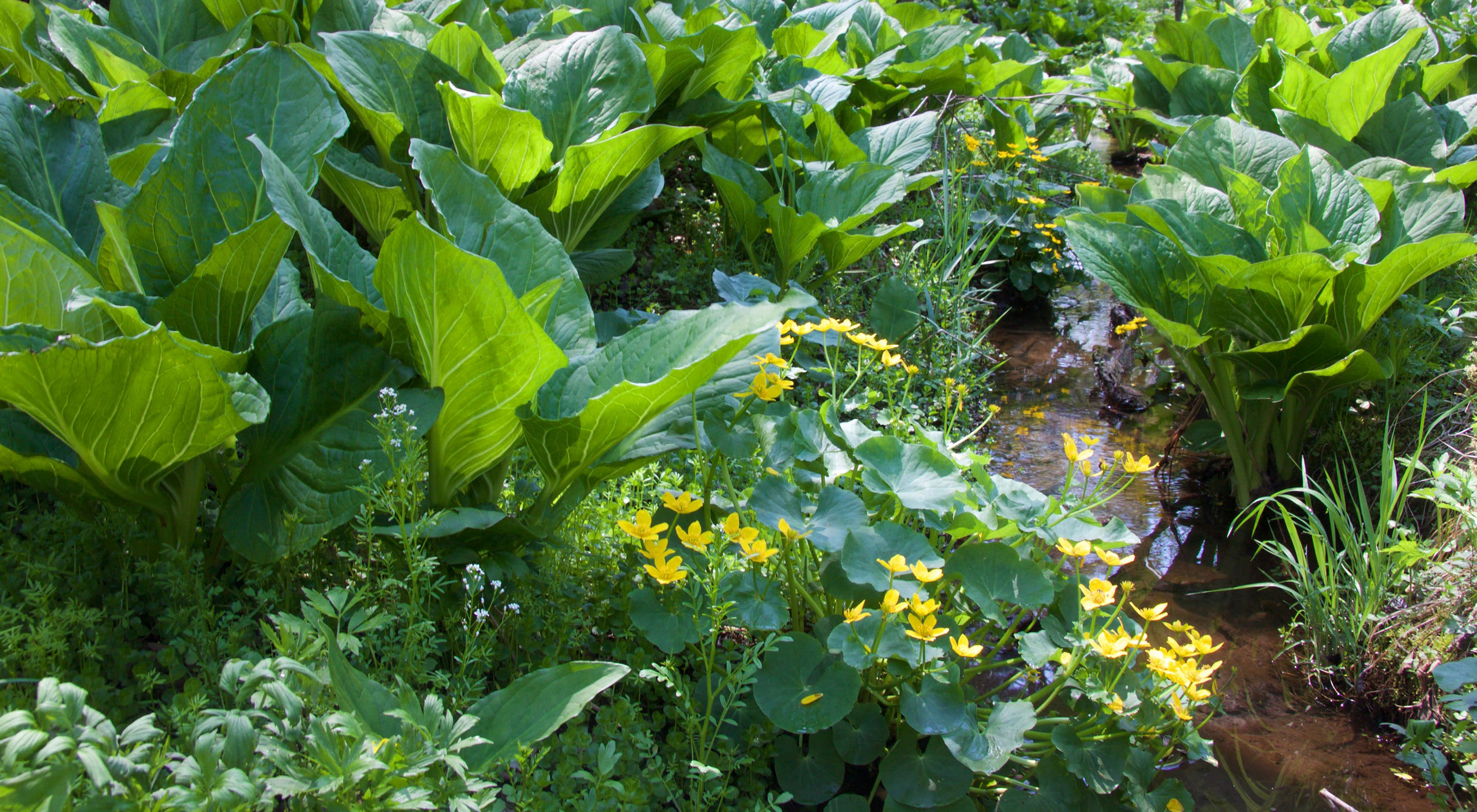 Close-up photo of wetland in Honey Creek Valley with yellow marsh marigolds in bloom and a profusion of skunk cabbage