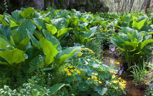 Marsh marigolds bloom alongside a profusion of skunk cabbage in the wetlands at Honey Creek Preserve in the Baraboo Hills
