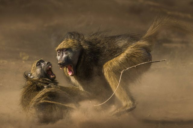 Two monkeys wrestle in the dirt