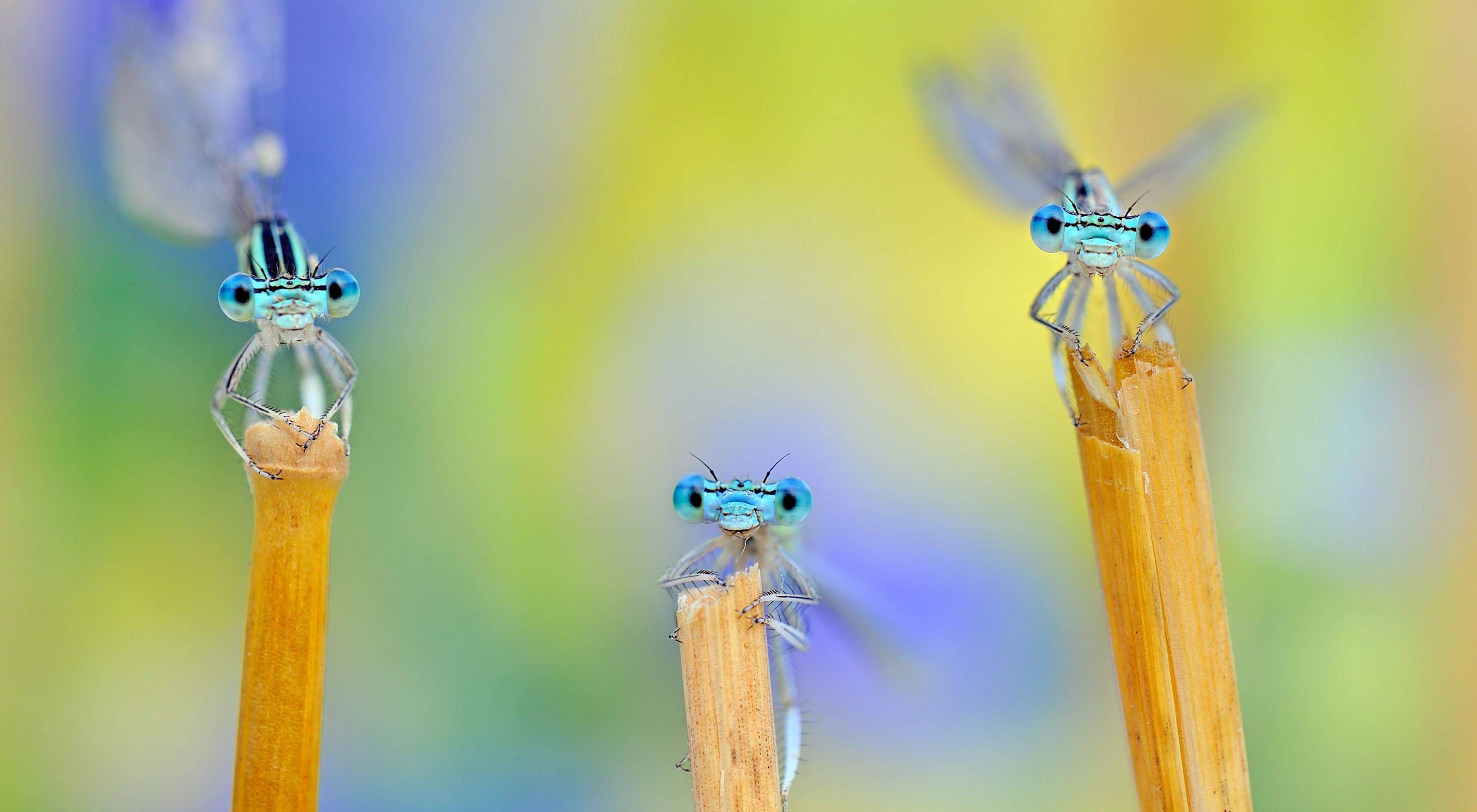 3 damselflies macro photography