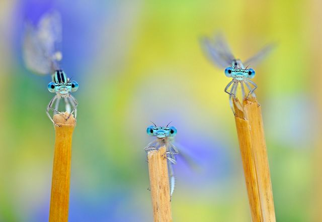 Three damselflies after a storm in Italy.