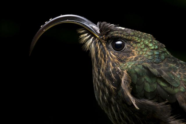 A White-Tipped Sicklebill stand completely still as hummingbirds lower their metabolism during night time to avoid starvation.