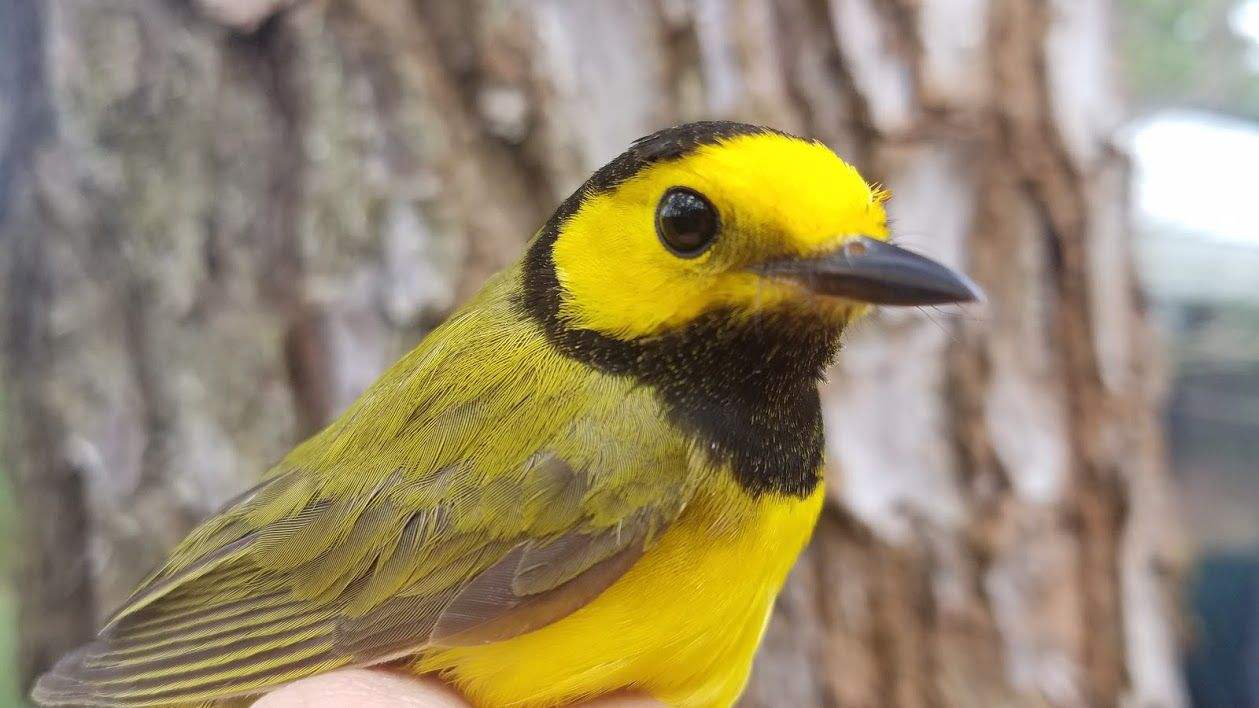 A small bird with a bright yellow breast and face, black throat and cap and greenish brown wings.