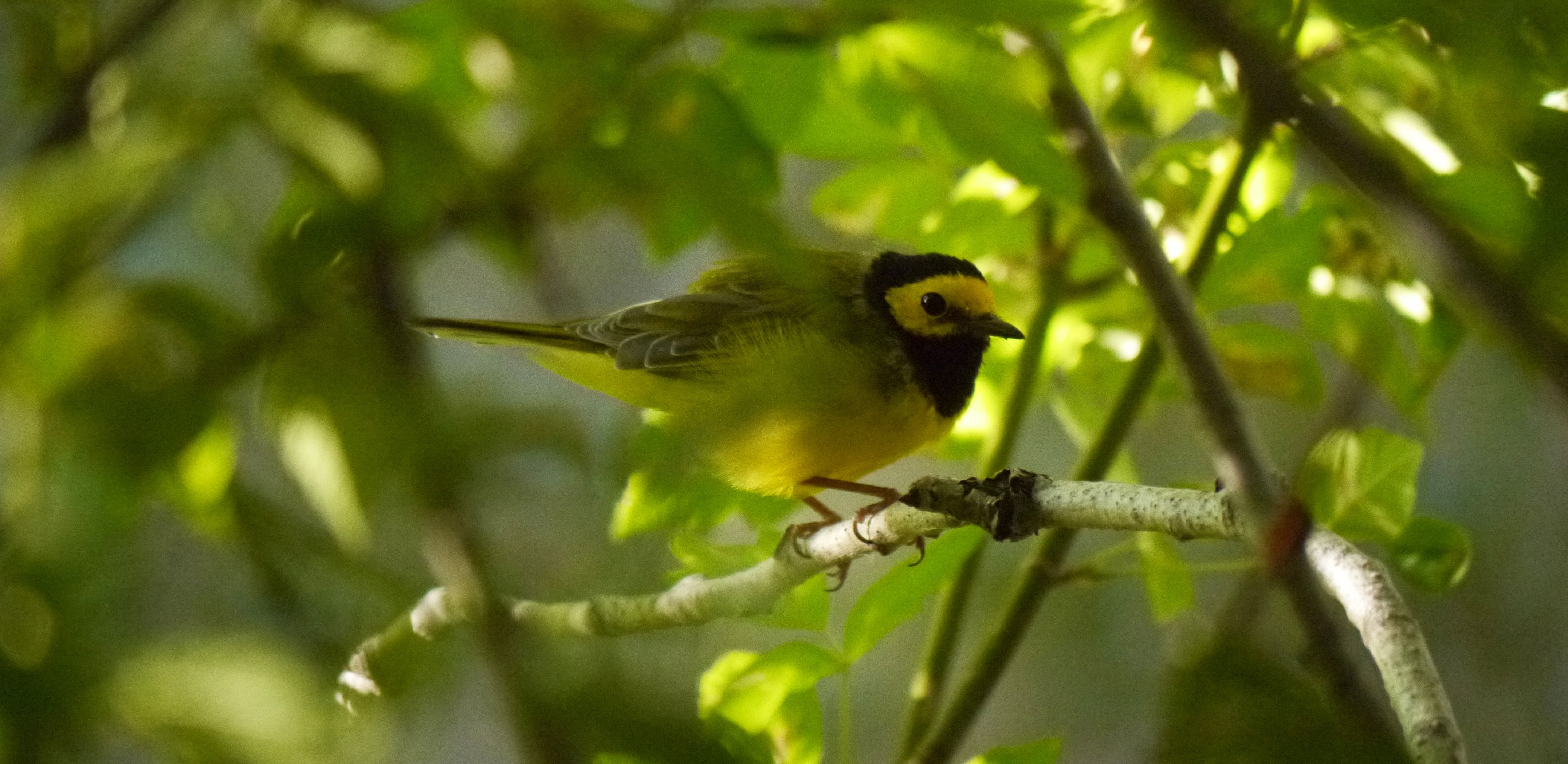 A small green and yellow bird perches on a tree branch partly obscured by thick green leaves.