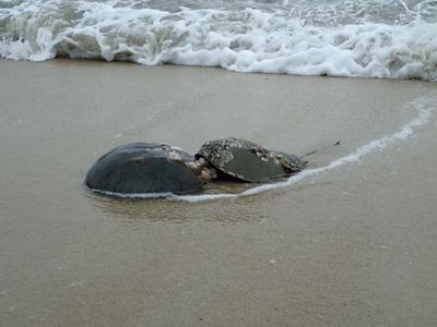 A pair of horseshoe crabs are spawning on the beach