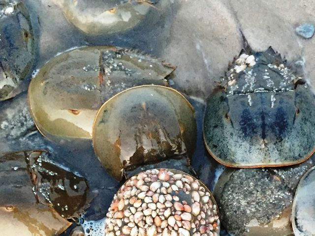 Spawning horseshoe crabs gather on the beach to lay eggs at the Milford Neck Preserve.