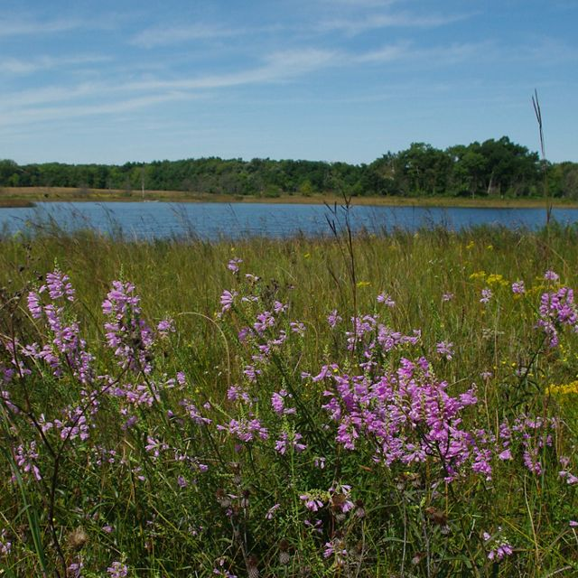 Light purple flowers wave in wind with wetland in background.