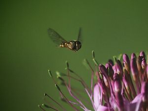 A hoverfly inspects a rocky mountain bee plant.