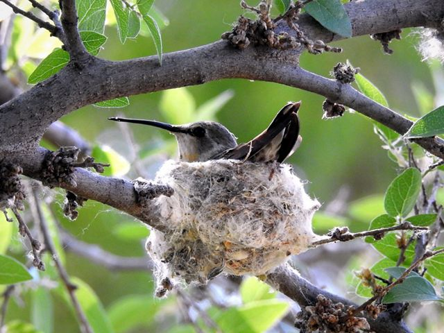 Dull-colored hummingbird sits in gray sphere-like nest in a tree.