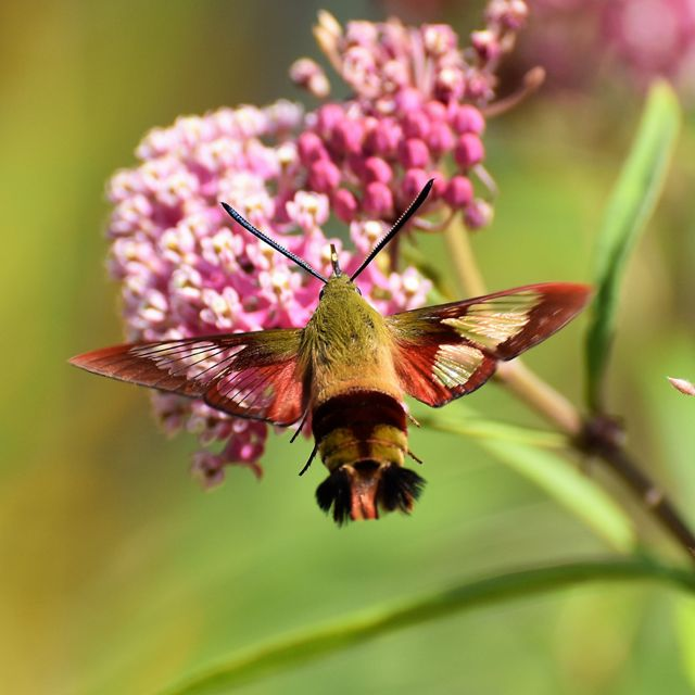 A large hummingbird moth hovers near a bright flower.