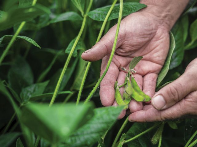 A farmer inspects a soybean crop at the Hutchinson Brothers Farm on Maryland's Eastern Shore.