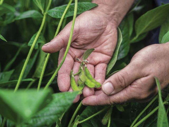 A man holds green soybean pods in his hands. He is surrounded by tall green plants.