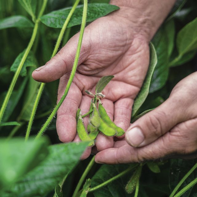 Close view of two hands holding soybeans on the vine. Only the person's hands are visible. They are surrounded by healthy green plants.