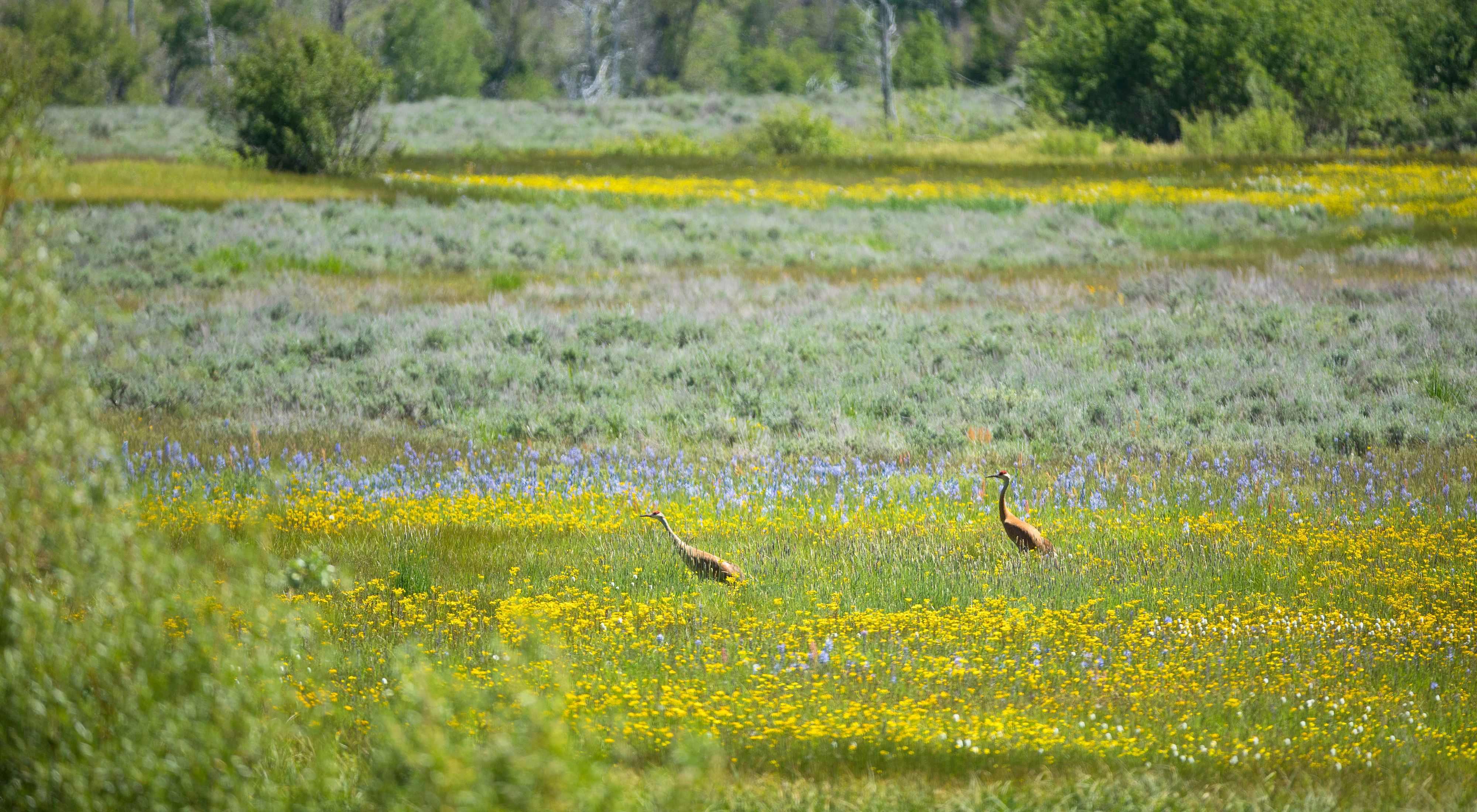 Two cranes walking in a grassy field with purple and yellow wildflowers.
