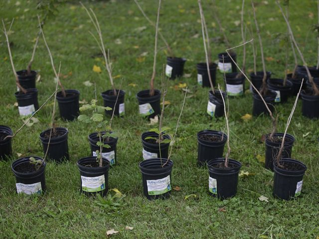 Photo of tree seedlings in pots outside.