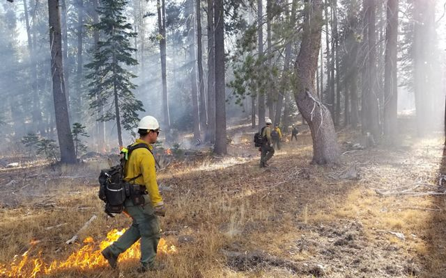 Fire workers span out through a forest to light a controlled burn.