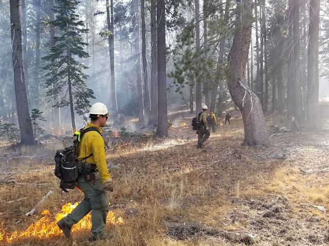 Burn crew members spread out through an open forest, setting fire to some of the grass in the understory.