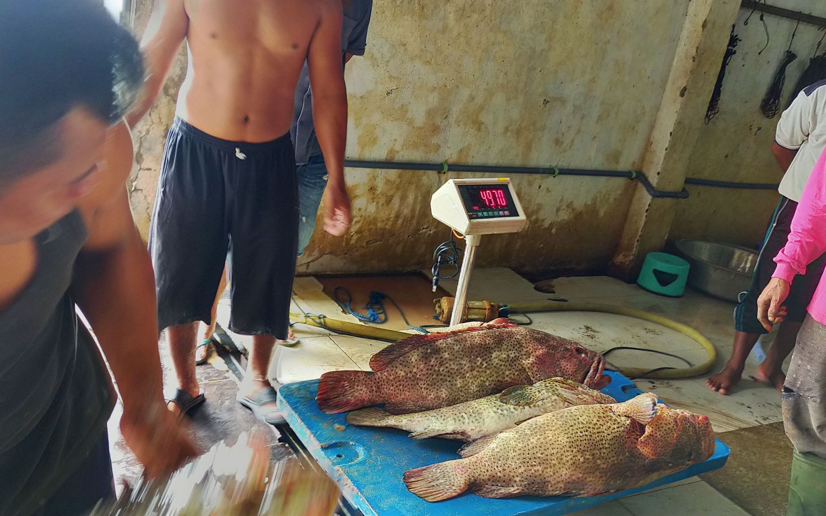 Three large fish are being weighed on a scale.