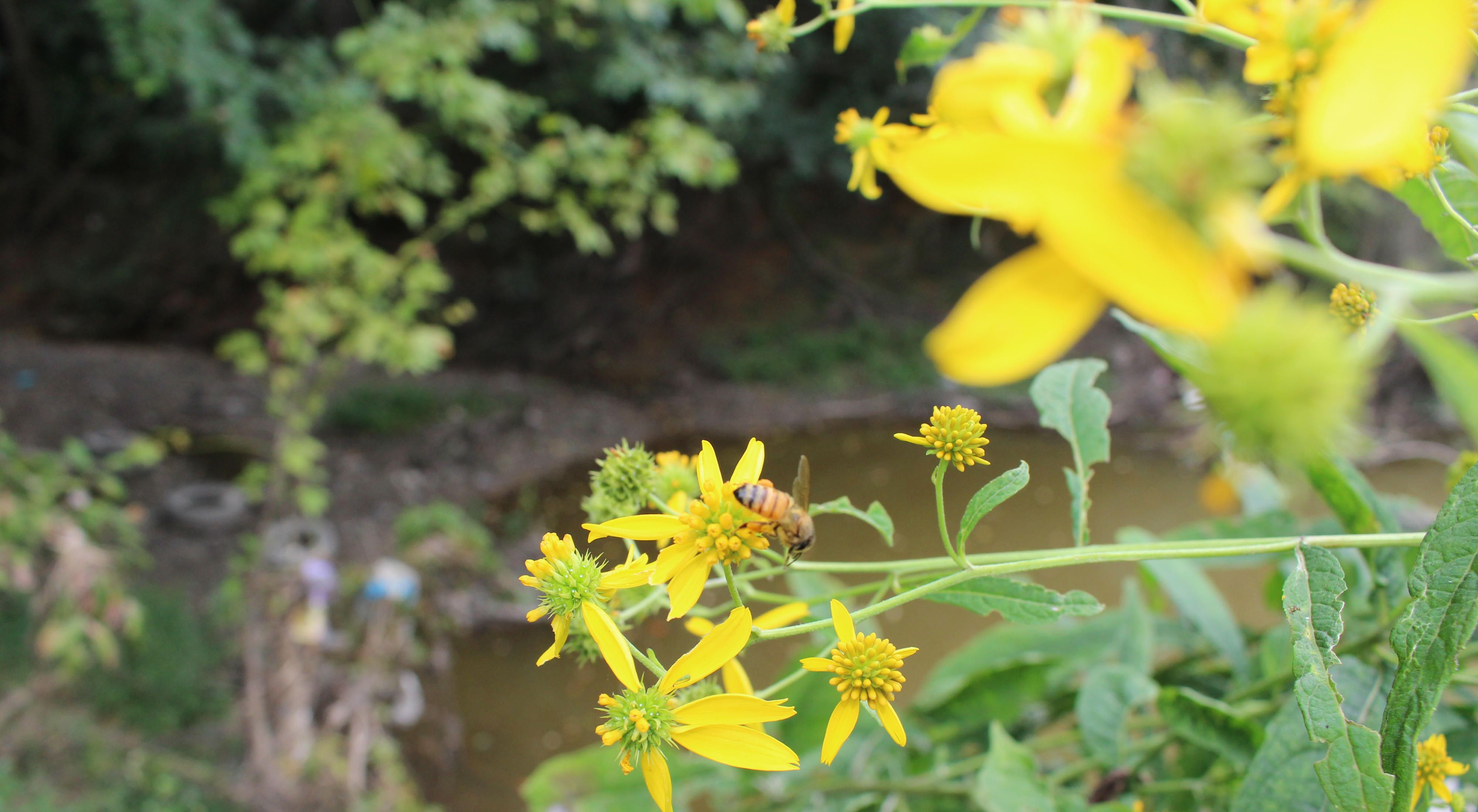 A bee rests on a yellow flower in bloom.