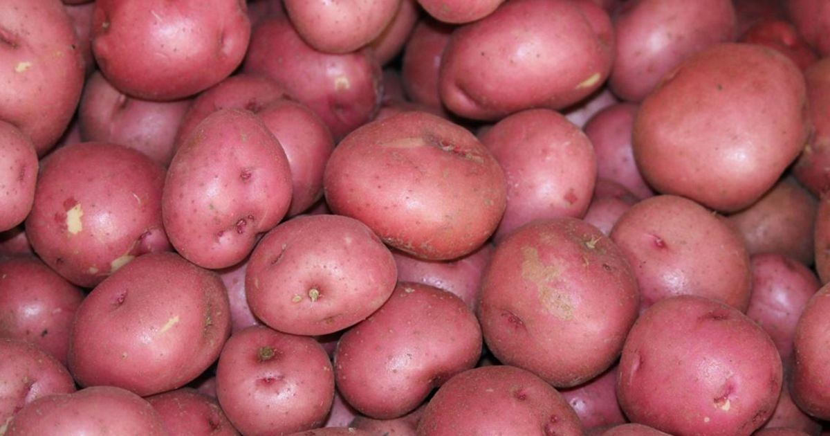 Red potatoes at Jones Farm in Florida. © Florida Department of Agriculture and Consumer Services (FDACS)