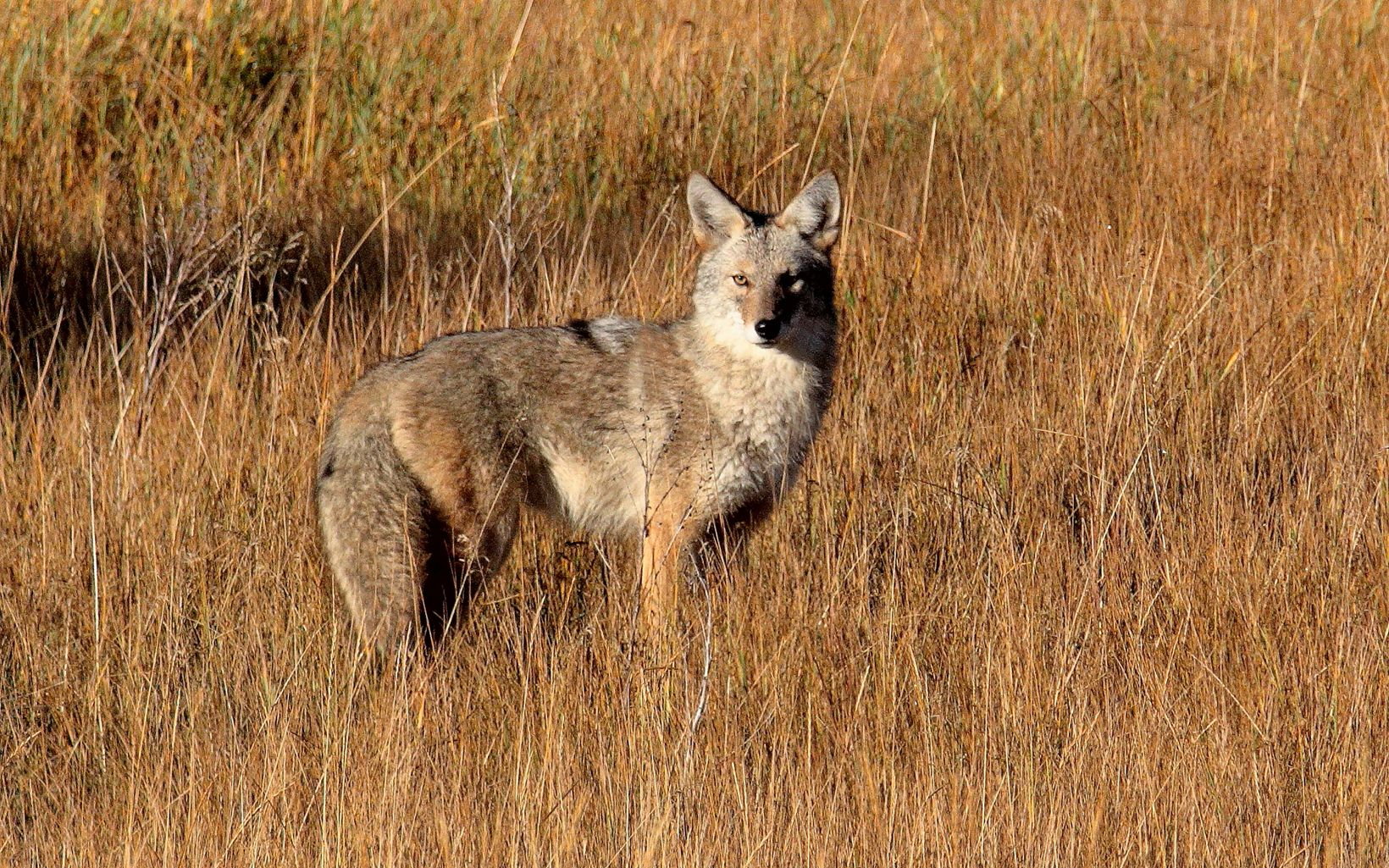 Coyote spotted at Ball Creek Preserve