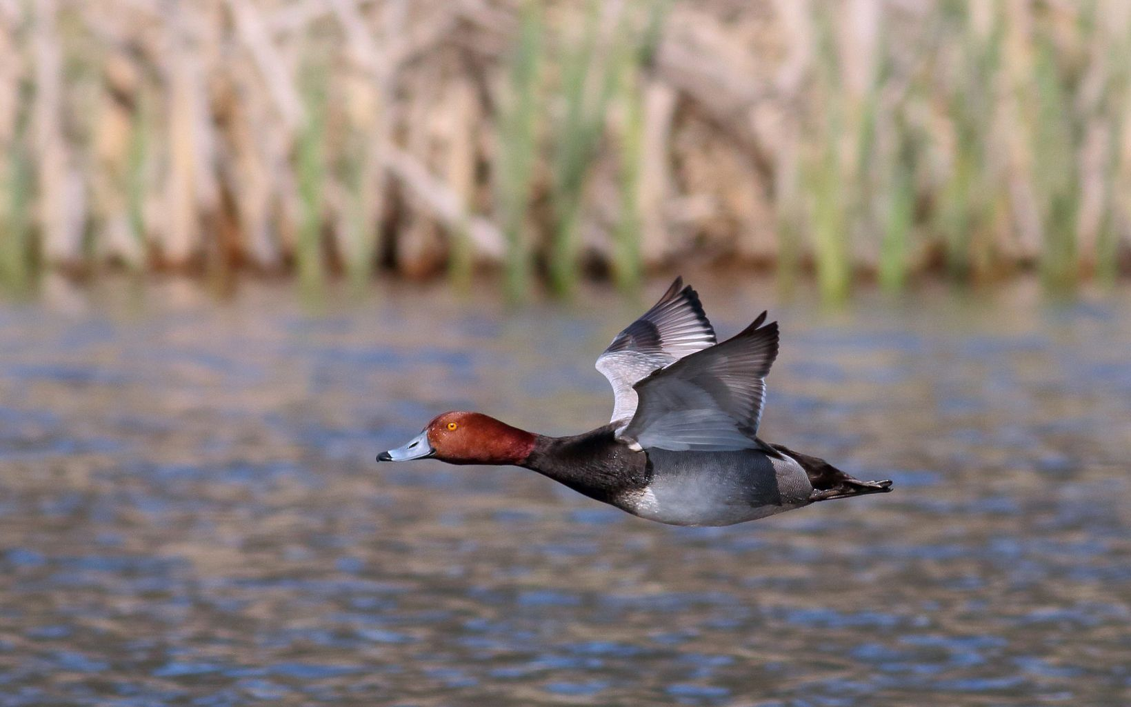 Ball Creek is a refuge for waterfowl