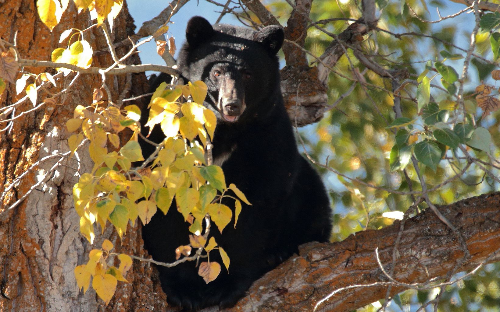 A black bear keeps an eye out from it's tree perch at Ball Creek