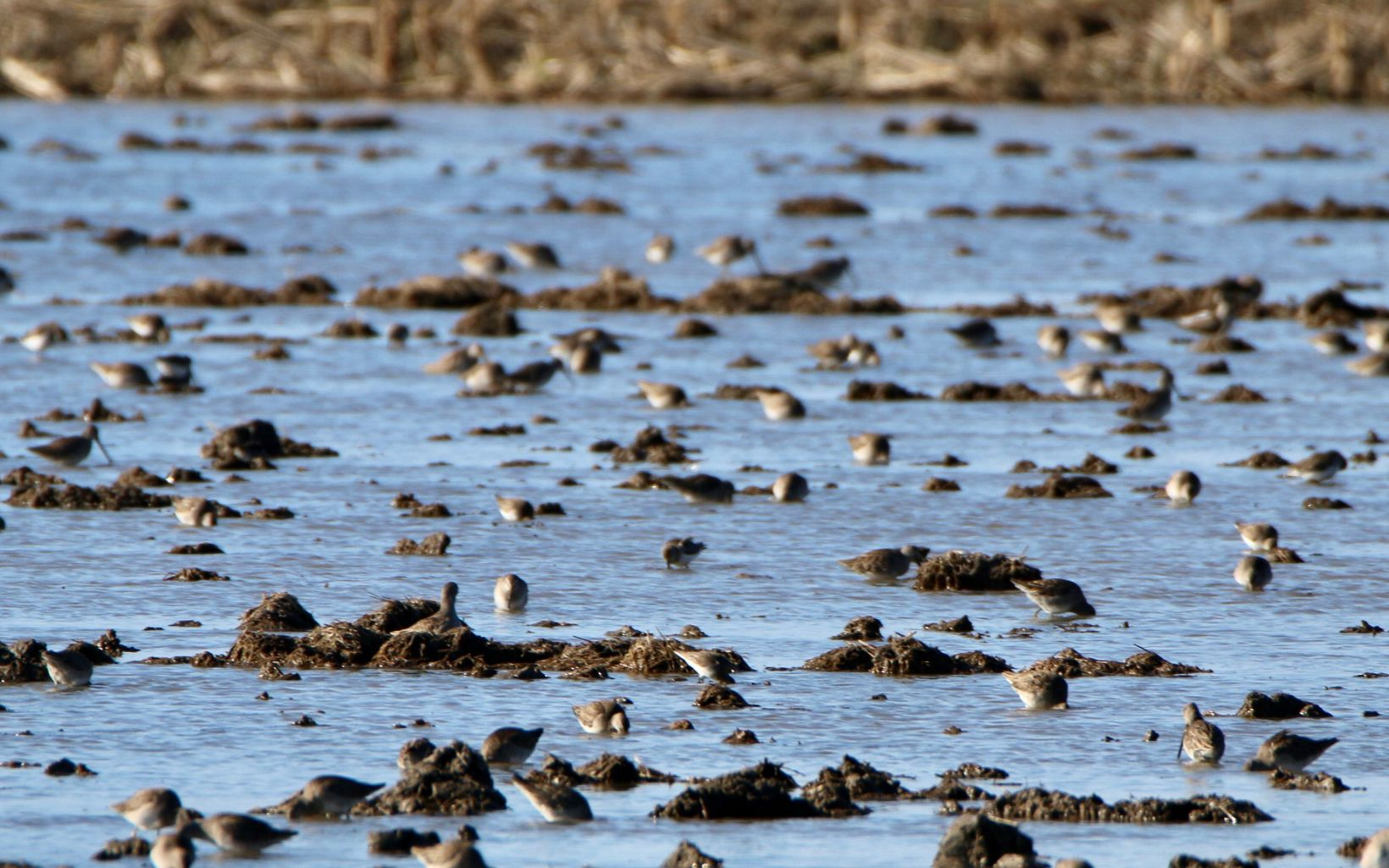 Migratory shorebirds forage for food and take a rest at pop-up habitat on a farm in CA's Colusa Valley