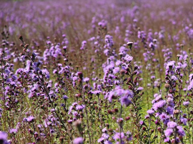 A sea of bright purple flowers paints the landscape each August in southern Maine grasslands.